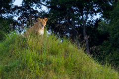 cub η στήριξη λιονταρινών της στοκ εικόνα
