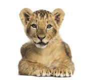 Cub λιονταριών να βρεθεί, που εξετάζει τη κάμερα, 10 εβδομάδες παλαιός, που απομονώνεται Στοκ Εικόνες