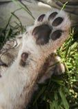 Cub λιονταριών πόδι Στοκ εικόνες με δικαίωμα ελεύθερης χρήσης