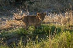 Cub λιονταριών στη χλόη που κοιτάζει επίμονα στη κάμερα στοκ φωτογραφίες με δικαίωμα ελεύθερης χρήσης
