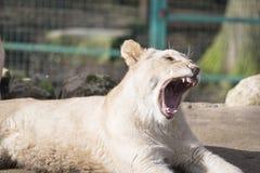 Cub λιονταριών χασμουρητό Στοκ εικόνα με δικαίωμα ελεύθερης χρήσης