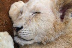 Cub λιονταριών ύπνου κεφάλι στοκ εικόνες