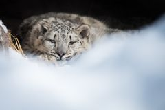 Cub λεοπαρδάλεων χιονιού που στηρίζεται στο κρησφύγετο Στοκ Εικόνες