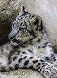 Cub λεοπαρδάλεων χιονιού στοκ εικόνες με δικαίωμα ελεύθερης χρήσης