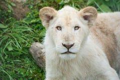 cub λευκό λιονταριών Στοκ Φωτογραφία