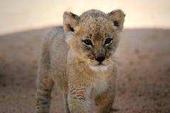 cub λευκό λιονταριών στοκ φωτογραφίες με δικαίωμα ελεύθερης χρήσης