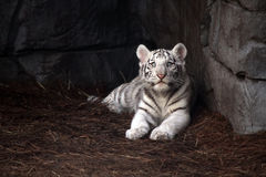 cub λευκό τιγρών Στοκ Φωτογραφία