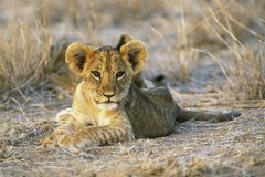 cub λιοντάρι στοκ εικόνα