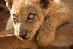 cub λιοντάρι Στοκ εικόνες με δικαίωμα ελεύθερης χρήσης