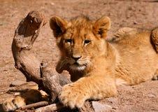 cub λιοντάρι Στοκ εικόνα με δικαίωμα ελεύθερης χρήσης