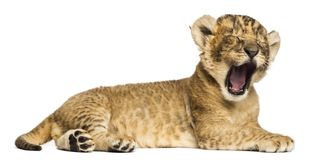 Cub λιονταριών που ξαπλώνει, βρυχηθμός, 4 εβδομάδες παλαιός, που απομονώνεται στοκ εικόνες