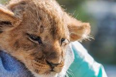 Cub λιονταριών που στηρίζεται στο mom Στοκ φωτογραφίες με δικαίωμα ελεύθερης χρήσης