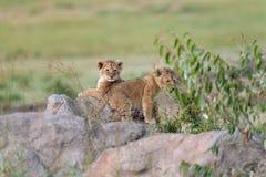 Cub λιονταριών στην πέτρα στοκ εικόνα με δικαίωμα ελεύθερης χρήσης