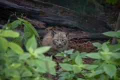 Cub λυγξ στο δάσος στοκ εικόνες