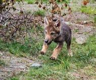 Cub λύκων στοκ φωτογραφία