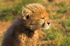 cub να κοιτάξει επίμονα Στοκ Εικόνες
