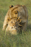 cub παιχνίδι λιονταριών Στοκ Εικόνες