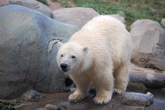 Cub πολική αρκούδα Στοκ εικόνες με δικαίωμα ελεύθερης χρήσης