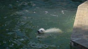 Cub πολικών αρκουδών παιχνίδι στο νερό απόθεμα βίντεο