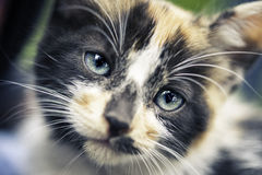 Cub πορτρέτο γατών Στοκ Εικόνες