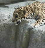 cub που κοιτάζει κάτω Στοκ Φωτογραφία