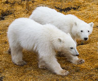 Cub πολικών αρκουδών δίδυμα στοκ εικόνα με δικαίωμα ελεύθερης χρήσης