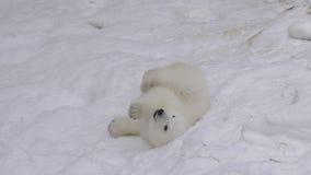 Cub πολικών αρκουδών υπόλοιπα και παιχνίδια σε ένα χιόνι φιλμ μικρού μήκους