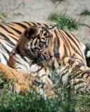 cub τίγρη Στοκ Εικόνες