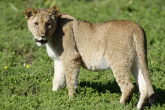 cub της Αφρικής νότος λιοντα Στοκ Φωτογραφίες