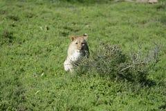 cub της Αφρικής νότος λιοντα Στοκ φωτογραφία με δικαίωμα ελεύθερης χρήσης