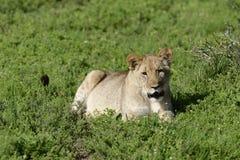 cub της Αφρικής νότος λιοντα Στοκ εικόνα με δικαίωμα ελεύθερης χρήσης