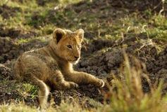 cub της Αφρικής kruger στηργμένος νότος εικόνων πάρκων λιονταριών ο εθνικός που λήφθηκε ήταν Στοκ φωτογραφία με δικαίωμα ελεύθερης χρήσης