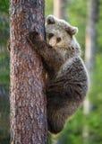 Cub της καφετιάς αρκούδας αναρριχείται στο δέντρο Στοκ Εικόνες