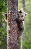 Cub της καφετιάς αρκούδας αναρριχείται στο δέντρο Στοκ Εικόνα