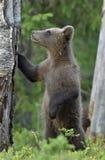 Cub της καφετιάς αρκούδας Ursus Arctos Arctos Στοκ Φωτογραφία