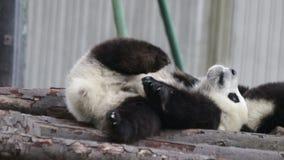 Cub της Panda γρατσουνίζει, Κίνα φιλμ μικρού μήκους