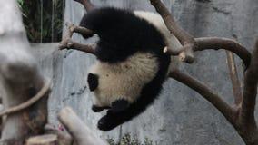 Cub της Panda μαθαίνει να ισορροπεί εύθυμο, Chengdu, Κίνα απόθεμα βίντεο