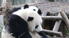 Cub της Panda παίζει με τη μητέρα του, Chengdu, Κίνα απόθεμα βίντεο