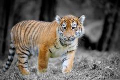 Cub τιγρών στη χλόη Στοκ Εικόνες