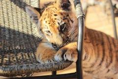 Cub τιγρών Στοκ φωτογραφίες με δικαίωμα ελεύθερης χρήσης