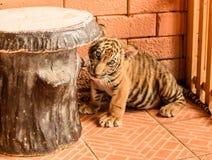 Cub τιγρών Στοκ Εικόνα