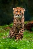 Cub του τσιτάχ Τσιτάχ, jubatus Acinonyx, πορτρέτο λεπτομέρειας της άγριας γάτας, γρηγορότερο θηλαστικό στο έδαφος, στη χλόη, Ναμί στοκ φωτογραφίες