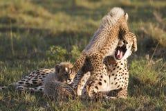 cub τσιτάχ μητέρα Στοκ φωτογραφία με δικαίωμα ελεύθερης χρήσης