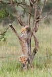 Cub τσιτάχ που πέφτει από το δέντρο ακακιών, Masai Mara, Κένυα Στοκ φωτογραφίες με δικαίωμα ελεύθερης χρήσης