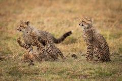 Cub τσιτάχ συνεδρίαση ενώ άλλοι παίζουν την πάλη στοκ φωτογραφία