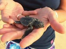 Cub χελωνών μωρών cabo verde Στοκ Φωτογραφία