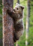 Cub бурого медведя взбирается на дереве Стоковая Фотография RF