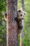 Cub бурого медведя взбирается на дереве Стоковое Изображение