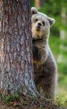 Cub бурого медведя взбирается на дереве Стоковое фото RF