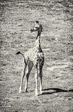 Cub жирафа ` s Rothschild, бесцветный Стоковая Фотография